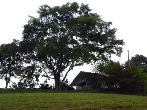rumah mungil ibu terpisah oleh pohon besar dari tanah bakal rumah kami
